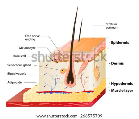 Layers Of Human Skin. Epidermis (horny layer and granular layer), Dermis (connective tissue) and Subcutaneous fat (adipose tissue) - stock vector