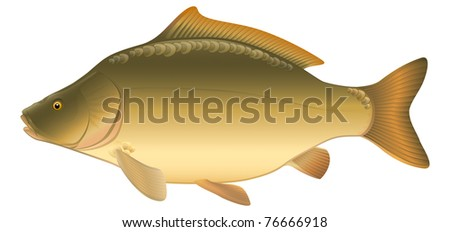 """Leather Carp (Cyprinus carpio), European freshwater fish. """"Full compatible. Created with gradients."""" - stock vector"""