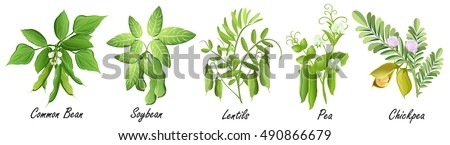 Legume plants (common bean. soybean, lentil, pea, chickpea ). Set of hand drawn vector illustrations of various legume plants  on white background.