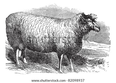 Leicester sheep or Bakewell Leicester or Dishley Leicester or Improved Leicester or Leicester Longwool or English Leicester, vintage engraved illustration. Trousset encyclopedia (1886 - 1891). - stock vector