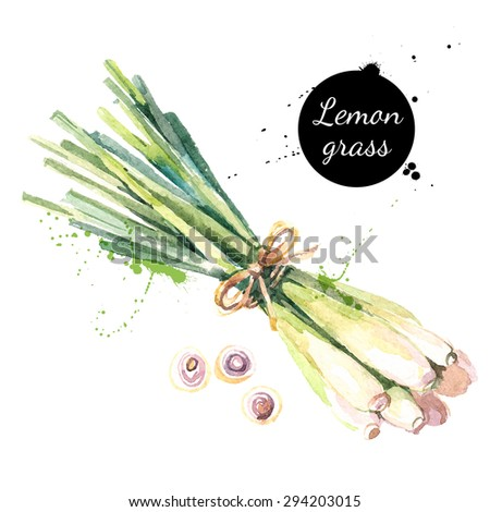 Lemon grass. Hand drawn watercolor painting on white background. Vector illustration - stock vector