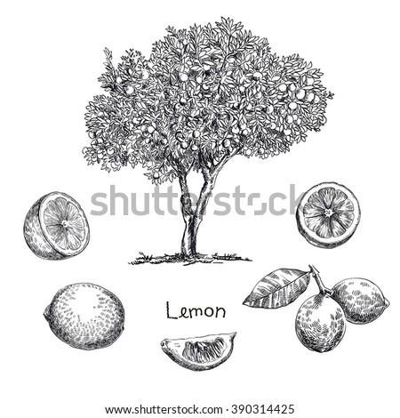 lemon tree sketch - stock vector