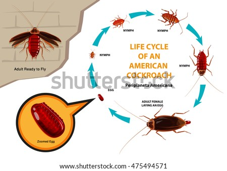 Life Cycle of an American Cockroach with scientific name Periplaneta americana. Also colloquially known as the Waterbug. Editable Clip Art.