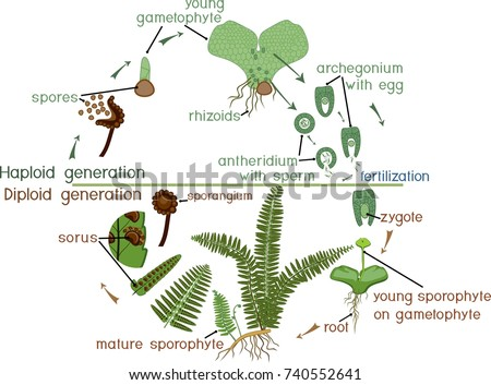 Life Cycle Fern Plant Life Cycle Stock Vector Hd Royalty Free