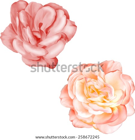 Light Pink Rose and light red camellia Flower isolated on white background. illustration - stock vector