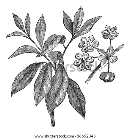 Lindera benzoin or Benzoin aestivale or wild allspice or spicebush or common spicebush or northern spicebush or Benjamin bush, vintage engraving. Trousset encyclopedia (1886 - 1891). - stock vector