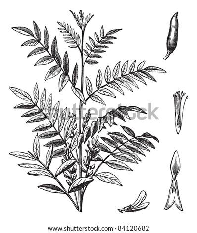 Liquorice or Glycyrrhiza glabra or Licorice or Glycyrrhiza glandulifera, vintage engraving. Old engraved illustration of Liquorice isolated on a white background. Trousset encyclopedia (1886 - 1891). - stock vector