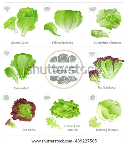 List Of Salad Vegetables And Icons Vector Popular Eating Lettuce Product For Hydroponics System