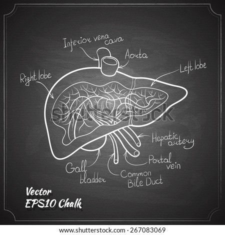 liver anatomy chalk painted on the chalkboard vector illustration - stock vector
