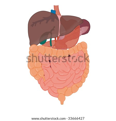 liver and intestines anatomy - stock vector