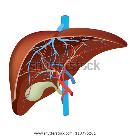 Liver. Structure of the human liver. Scientifically accurate. - stock vector