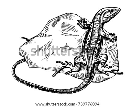 lizard on stone animal engraving vector illustration scratch board style imitation hand drawn image