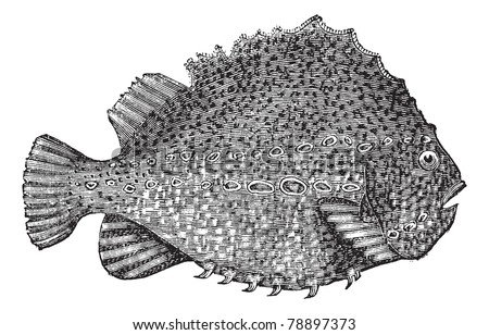 Lumpsucker or Cyclopterus lumpus or lumpfish, vintage engraving. Old engraved illustration of Lumpsucker isolated on a white background. Trousset encyclopedia (1886 - 1891) - stock vector