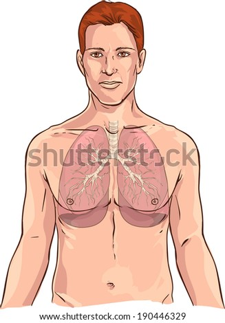 Lungs - stock vector