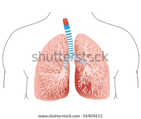 lungs and trachea - stock vector