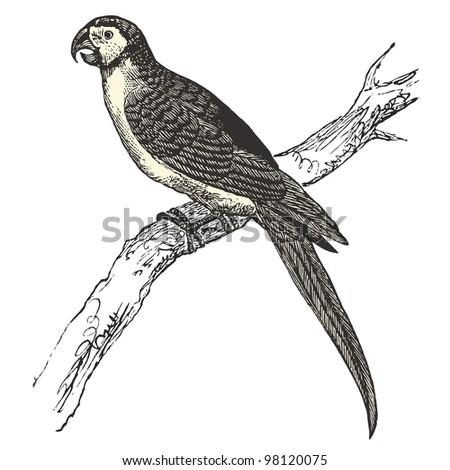 """Macaw parrot (Ara ararauna) - Vintage engraved illustration - """"Dictionnaire encyclopedique universel illustre"""" By Jules Trousset - 1891 Paris - stock vector"""