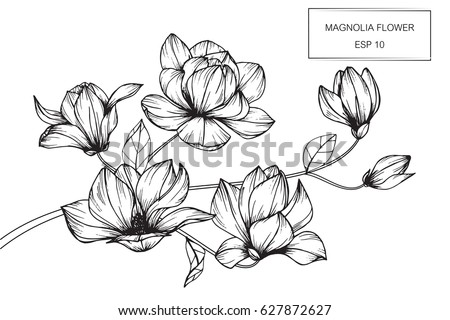 Magnolia flowers drawing and sketch with line art on white backgrounds