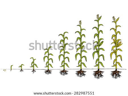 Maize Development Diagram - stages of growth - stock vector