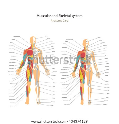 Male and female muscle and bony system charts with explanations. Anatomy guide of human physiology. - stock vector