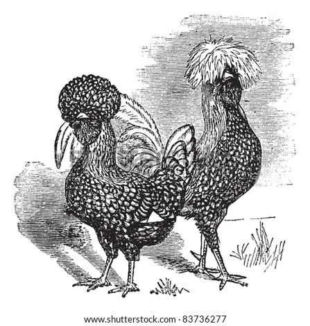 Male and female of Polish (chicken), vintage engraving. Old engraved illustration of Male and female of Polish chicken in the meadow. Trousset encyclopedia (1886 - 1891). - stock vector