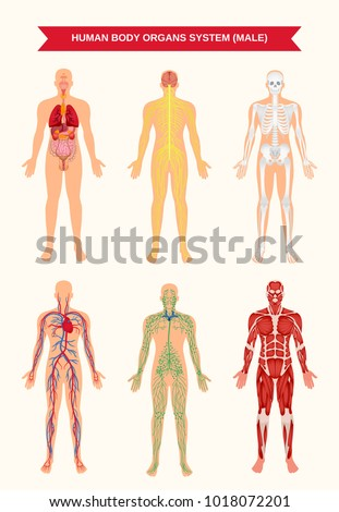 Male Body Internal Organs Circulatory Nervous Stock Vector ...