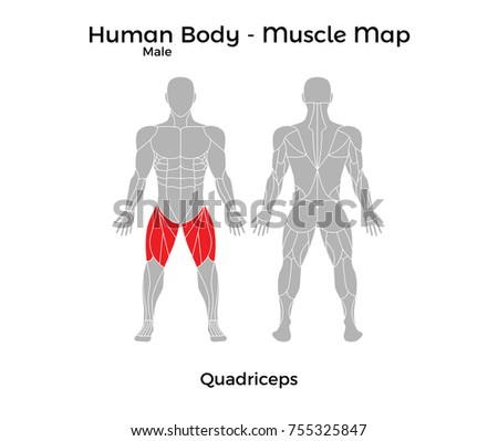 Male Human Body Muscle Map Quadriceps Stock Vector 755325847 ...