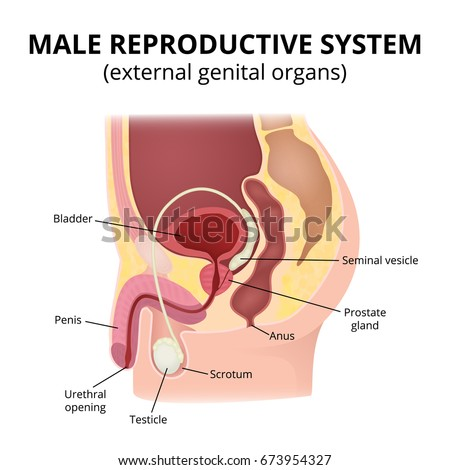 Male Reproductive System Anatomy Male Organs Stock Vector 673954327 ...