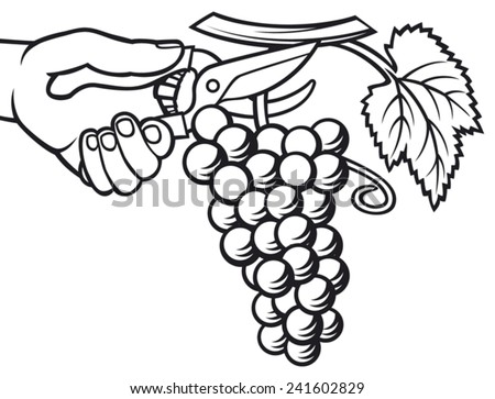 man hands harvesting grapes (grape harvesting, harvested grape with pruner in the hand) - stock vector