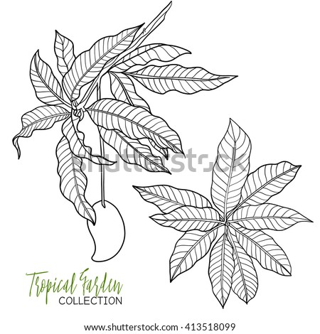 Mango Tropical Plant Vector Illustration Coloring Book For Adult And Older Children
