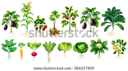 Many kind of vegetables with leaves and roots illustration - stock vector