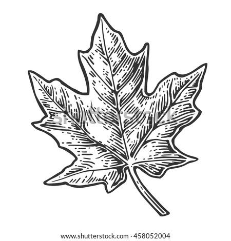 maple leaf maple leaf vector vintage engraved illustration stock vector