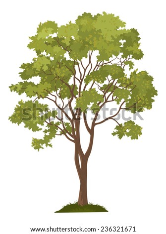 Maple tree with leaves and green grass, isolated on white background. Vector - stock vector