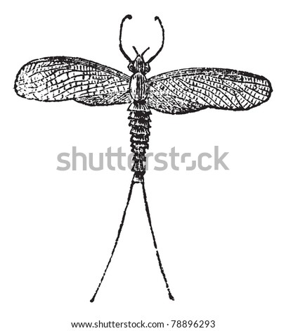 mayfly or dayfly or shadfly or green bay fly or lake fly or fishfly or midgee