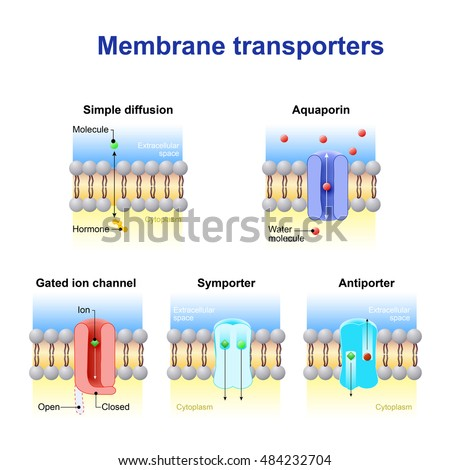 Mechanisms transport ions molecules across cell stock vector mechanisms transport ions molecules across cell stock vector 484232704 shutterstock ccuart Image collections
