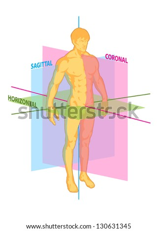 median, coronal, horizontal, sagittal planes of human body, torso of man athlete front and rear view, anterior and posterior, muscular system, strength, fitness, power - stock vector