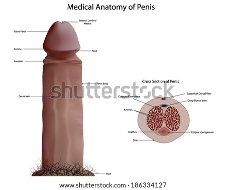 medical penis diagram