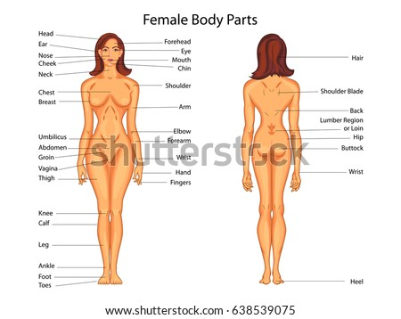 female body back surface anatomy human stock vector 339356828, Muscles