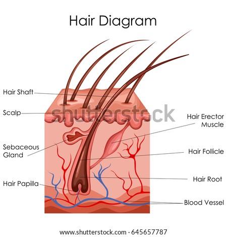 Medical Education Chart Biology Hair Diagram Stock Vector Royalty