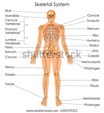 anatomy male muscular system posterior anterior stock vector, Muscles