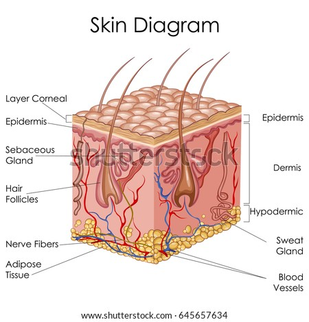 Medical Education Chart Biology Skin Diagram Stock Vector