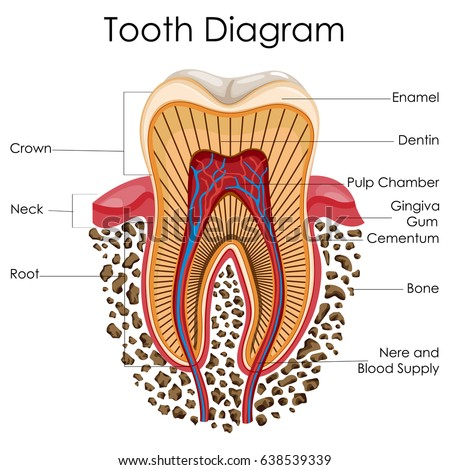 stock vector medical education chart of biology for tooth anatomy diagram vector illustration 638539339