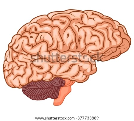 medically accurate illustration of the brain - stock vector