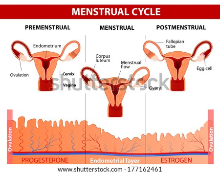 Menstrual cycle. Menstruation, Follicle phase, Ovulation and Corpus luteum phase. Vector diagram - stock vector