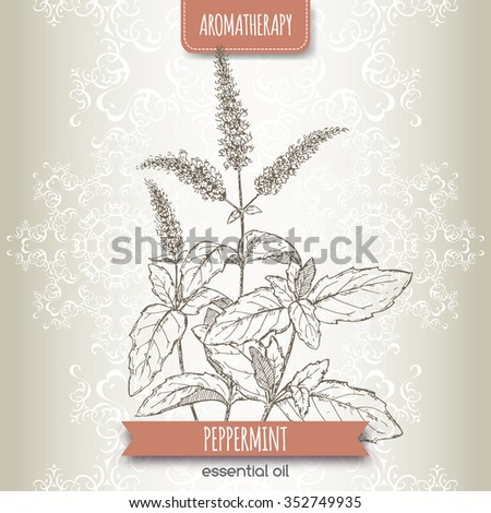 Mentha piperita aka peppermint sketch on elegant lace background. Aromatherapy series. Great for traditional medicine, perfume design or gardening.  - stock vector