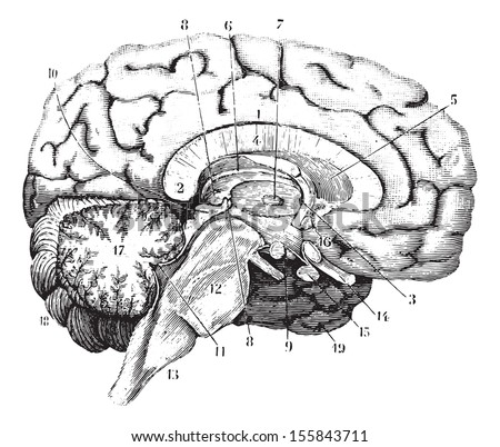 Middle and anterior-posterior section of the brain, vintage engraved illustration. Usual Medicine Dictionary by Dr Labarthe - 1885.  - stock vector
