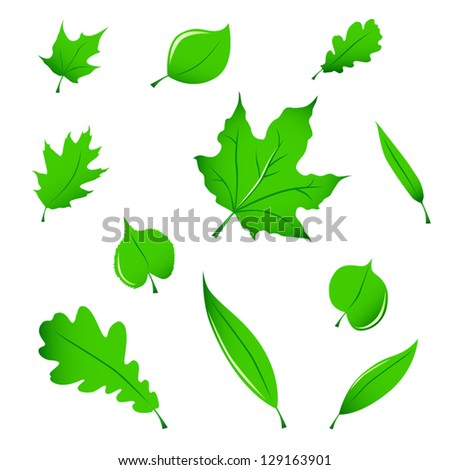 Miscellaneous green leaves (maple, oak, linden and white willow), isolated on white.