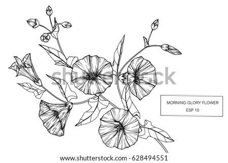 morning glory flowers drawing sketch lineart stock vector