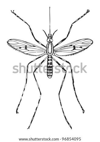 Mosquito (Culex annulatus) / vintage illustration from Meyers Konversations-Lexikon 1897 - stock vector