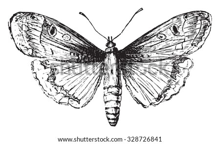 Moth, vintage engraved illustration. - stock vector