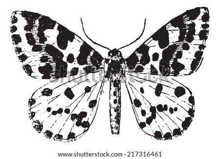 Moth, vintage engraved illustration. Dictionary of words and things - Larive and Fleury - 1895. - stock vector